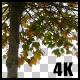 Real Maple Autumn Tree with Alpha Channel - VideoHive Item for Sale