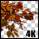 Real Beech Autumn Tree Extreme Close Up Branch with Alpha Channel - VideoHive Item for Sale