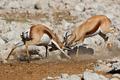Fighting springbok antelopes - PhotoDune Item for Sale