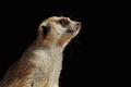 Meerkat portrait on black - PhotoDune Item for Sale