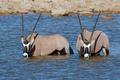 Gemsbok antelopes wading - PhotoDune Item for Sale