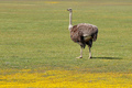 Ostrich and wild flowers - PhotoDune Item for Sale