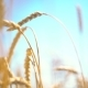 Wheat Field Growing - VideoHive Item for Sale