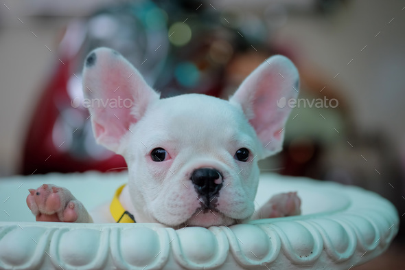 Puppies French Bulldog In White Pots