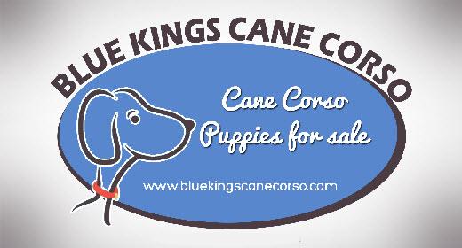 Cane Corso Breeder
