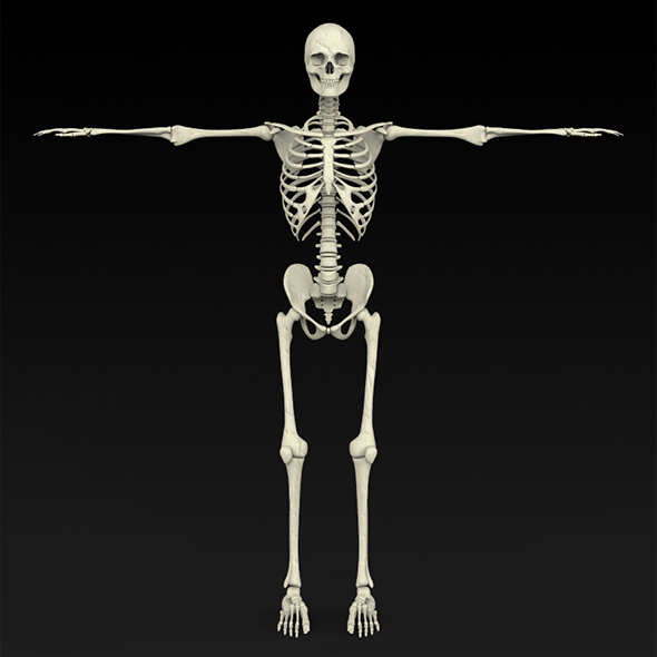 Realistic Human Skeleton - 3DOcean Item for Sale