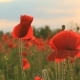 Poppies At Sunset Background - VideoHive Item for Sale