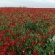 Field Full Of Red Poppies - VideoHive Item for Sale