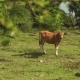 Bali Banteng Cow Standin On Meadow In Front Of Trees - VideoHive Item for Sale