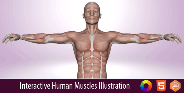 Interactive Human Muscles Illustration By Art101 Codecanyon