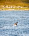 Hermanus Whale Watching Season - PhotoDune Item for Sale