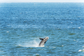 Southern Right Whale Breaching - PhotoDune Item for Sale