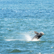 Southern Right Whale Jumping - PhotoDune Item for Sale