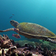 Hawksbill Turtle Swims - VideoHive Item for Sale