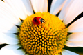 Beetle Ladybug and chamomile flower - PhotoDune Item for Sale