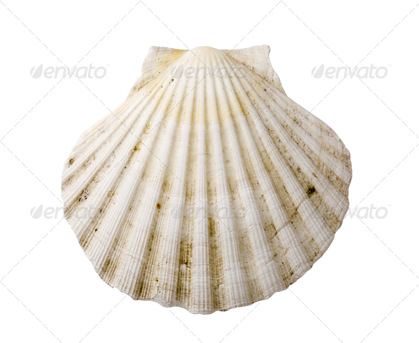 Scallop shell - Stock Photo - Images