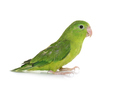 Pacific parrotlet in studio - PhotoDune Item for Sale