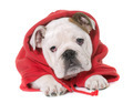 dressed puppy english bulldog - PhotoDune Item for Sale