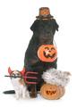 pets and pumpkin of halloween - PhotoDune Item for Sale