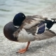 Duck Standing in One Leg Is Freesing - VideoHive Item for Sale