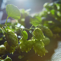 Ripe Hop cones on bush with green leaves - PhotoDune Item for Sale