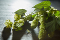 Hop cones and leaves. Fresh green background - PhotoDune Item for Sale