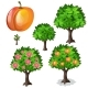 Planting and Cultivation of Apricot. Vector - GraphicRiver Item for Sale