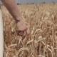 Woman's Hand Walking Through Wheat Field. Good Harvest Concept. - VideoHive Item for Sale