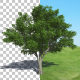 Tree American Elm - VideoHive Item for Sale