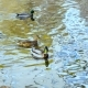 Wild Duck Swimming - VideoHive Item for Sale