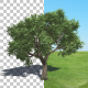 Tree Amur Cork - VideoHive Item for Sale