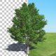 Tree Maple - VideoHive Item for Sale
