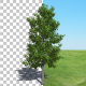 Tree Sourwood - VideoHive Item for Sale
