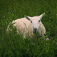 Sheep Grazing In Wild Field - VideoHive Item for Sale