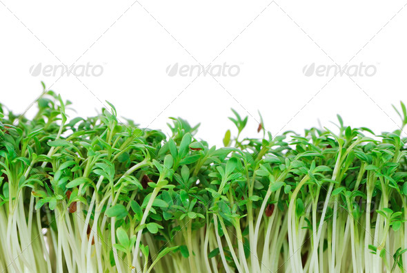Isolated Garden Cress Sprouts - Stock Photo - Images
