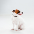 Small Jack Russell Terrier sitting on white