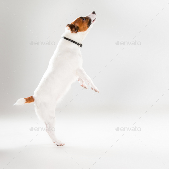 Small Jack Russell Terrier on white - Stock Photo - Images