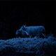 Sheep Walking Past In The Moonlight - VideoHive Item for Sale