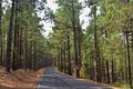 road in coniferous forest