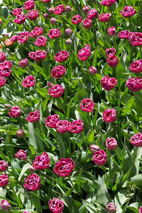 Flowers in Keukenhof park, Netherlands. - Stock Photo - Images