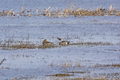 Pintail Ducks in a Wetland Pond