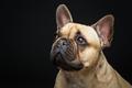 Beautiful french bulldog dog - PhotoDune Item for Sale