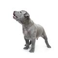 Thai ridgeback puppy isolated on white - PhotoDune Item for Sale