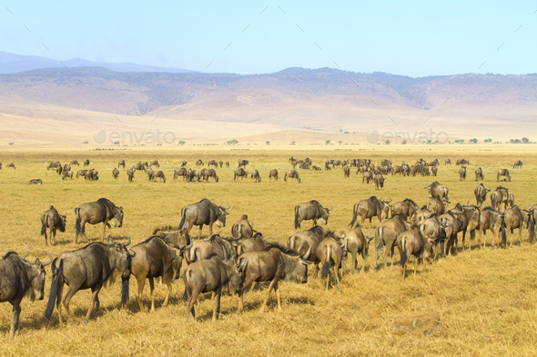 Herds of wildebeests walking in Ngorongoro - Stock Photo - Images