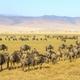 Herds of wildebeests walking in Ngorongoro - PhotoDune Item for Sale