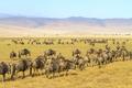 Herds of wildebeests walking in Ngorongoro