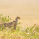 African cheetah on a hill in Serengeti - PhotoDune Item for Sale