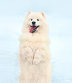 Happy white Samoyed dog in winter on snow stands on its hind leg