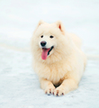 Portrait happy white Samoyed dog lying on snow winter