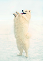 White Samoyed dog in winter on snow stands on its hind legs